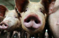 Schweinegrippeimpfung mit fatalen Folgen in Schweden